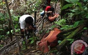 rafflesia-berkelopak-enam-mekar-di-bengkulu-246162-1