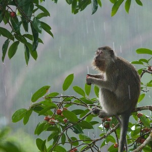 monyet-memiliki-ekor-yang-cukup-panjang-foto-dok-tim-laman-dan-yayasan-palung-57873fdc379773e90698ef72