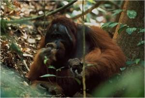 rayap-dan-serangga-termasuk-makanan-orangutan-foto-dok-robert-suro-dan-yayasan-palung-57873e7607b0bd1007c19b4f